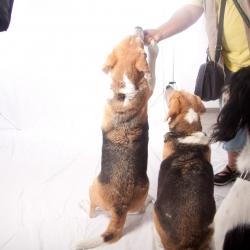beagleshoot2