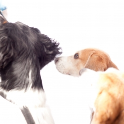 beagleshoot3